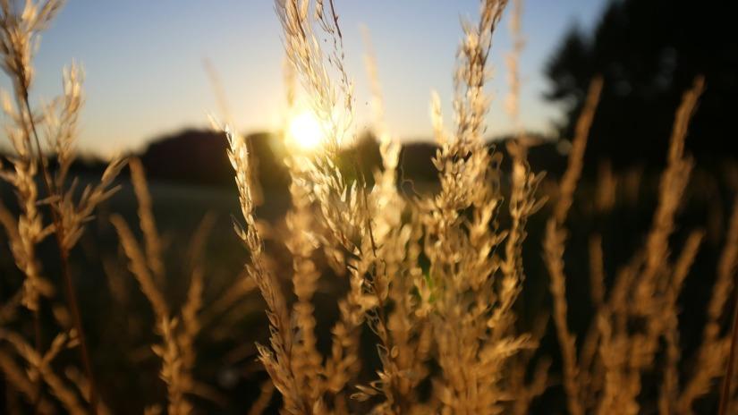 wheat-2550631_1280
